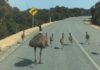 Autruches perturbent la circulation en Australie