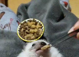 Hérisson se fait nourrir de croquettes par un homme
