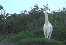 Girafe blanche très rare du kenya