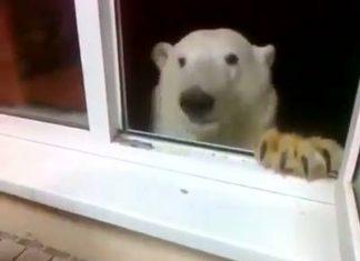 Un ours blanc demande à manger
