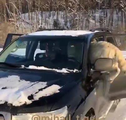 Un gros tigre dans la voiture