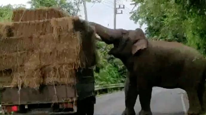 Eléphant dérobe une botte de foin à un camion