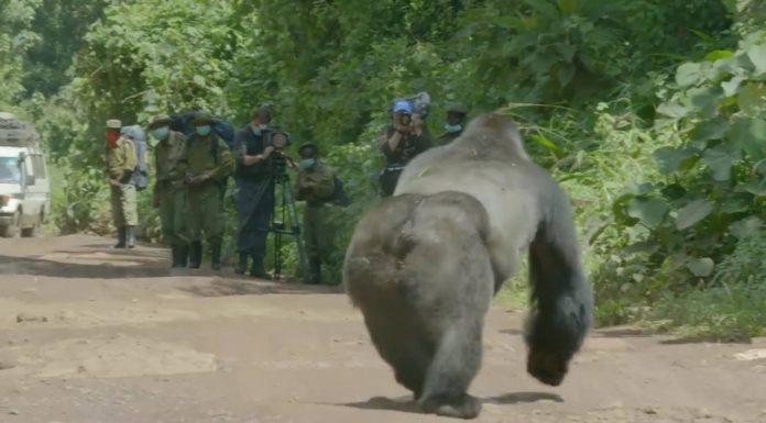 Route traversée par groupe de gorilles