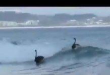 Cygnes noirs surfent en Australie