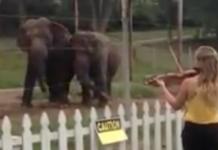 L'éléphant est aussi mélomane