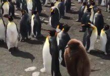 Ici, le jeune pingouin écoute ses parents