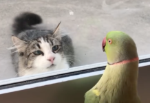 perroquet facetieux