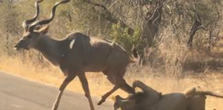 lion attaque une gazelle sur une route