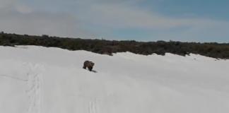 un ourson tente de rejoindre sa mère