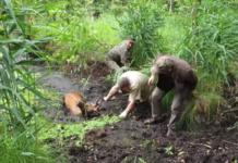 cerf empêtré dans de la boue sauve par 3 hommes