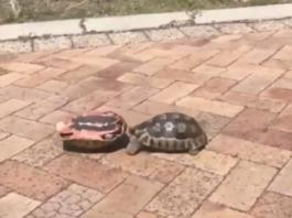 tortue sur le dos